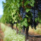 Top 7 Reasons Why You Should Take Resveratrol Supplements