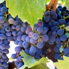 6 Ways Resveratrol Supplements May Help Prevent Cancer