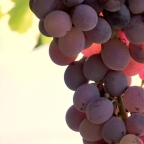 Reviving Resveratrol
